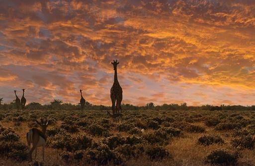 Giraffe「Giraffe at sunset in a Etosha National Park.」:スマホ壁紙(3)