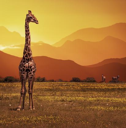 Giraffe「Giraffe at sunset, Namibia, Africa」:スマホ壁紙(15)