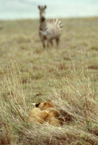 Ngorongoro Crater「african lion, panthera leo, lioness in ambush, ngorongoro crater, tanzania    」:スマホ壁紙(10)