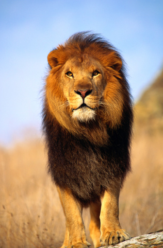 Salinas - California「African lion (Panthera leo) Salinas, California, USA, close-up」:スマホ壁紙(4)