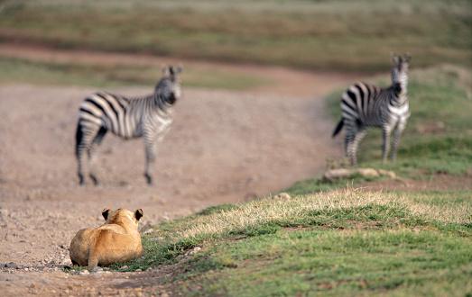 Ngorongoro Crater「African Lion Stalking Zebras」:スマホ壁紙(9)