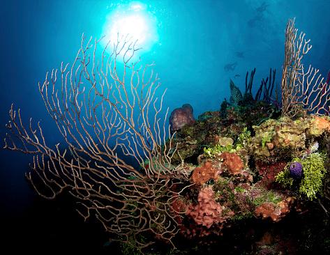 ケイマン諸島「Gorgonian Sea Fans on Caymans North Wall, Grand Cayman.」:スマホ壁紙(16)