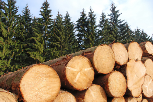 Deforestation「Cut logs stacked in front of pine trees」:スマホ壁紙(18)