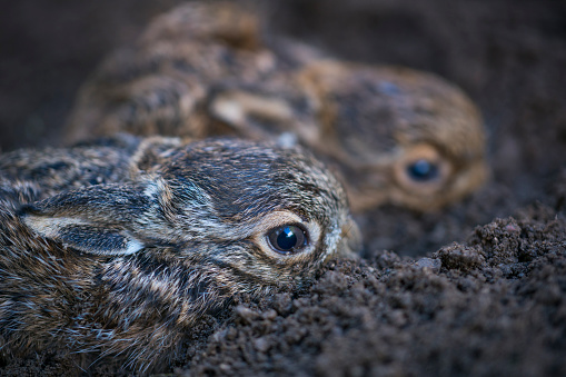 うさぎ「European hare chicks - Liebre europea (Lepus europaeus), also known as the brown hare, Navarra, Spain, Europe」:スマホ壁紙(11)
