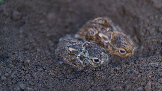 うさぎ「European hare chicks - Liebre europea (Lepus europaeus), also known as the brown hare, Navarra, Spain, Europe」:スマホ壁紙(8)