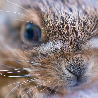 うさぎ「European hare chicks - Liebre europea (Lepus europaeus), also known as the brown hare, Navarra, Spain, Europe」:スマホ壁紙(1)