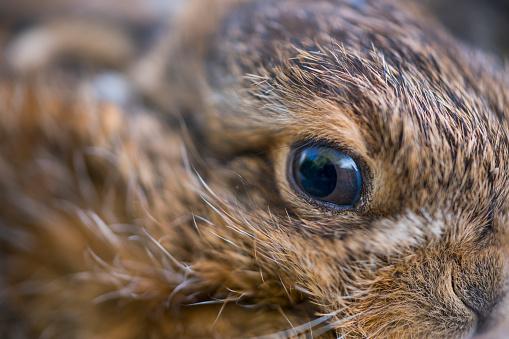 うさぎ「European hare chicks - Liebre europea (Lepus europaeus), also known as the brown hare, Navarra, Spain, Europe」:スマホ壁紙(16)