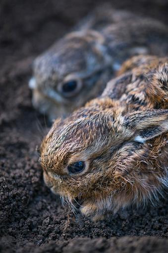 うさぎ「European hare chicks - Liebre europea (Lepus europaeus), also known as the brown hare, Navarra, Spain, Europe」:スマホ壁紙(3)
