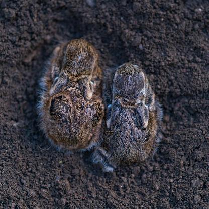 うさぎ「European hare chicks - Liebre europea (Lepus europaeus), also known as the brown hare, Navarra, Spain, Europe」:スマホ壁紙(5)