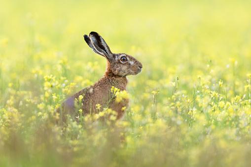 Animal Ear「European hare」:スマホ壁紙(0)