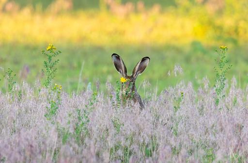Animal Ear「European hare」:スマホ壁紙(12)