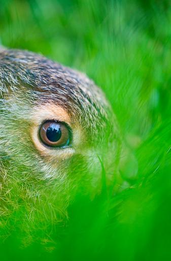 うさぎ「European hare - Liebre europea (Lepus europaeus), also known as the brown hare, Navarra, Spain, Europe」:スマホ壁紙(17)