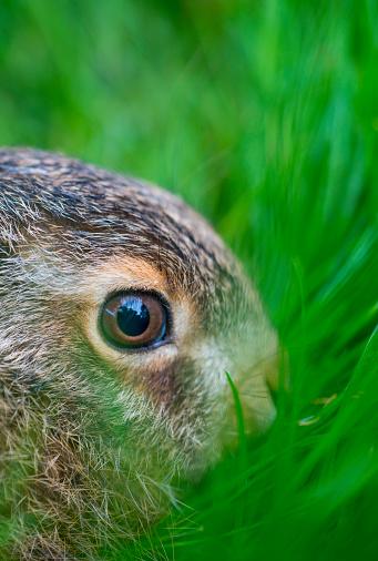 うさぎ「European hare - Liebre europea (Lepus europaeus), also known as the brown hare, Navarra, Spain, Europe」:スマホ壁紙(7)