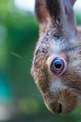 うさぎ「European hare - Liebre europea (Lepus europaeus), also known as the brown hare, Navarra, Spain, Europe」:スマホ壁紙(10)
