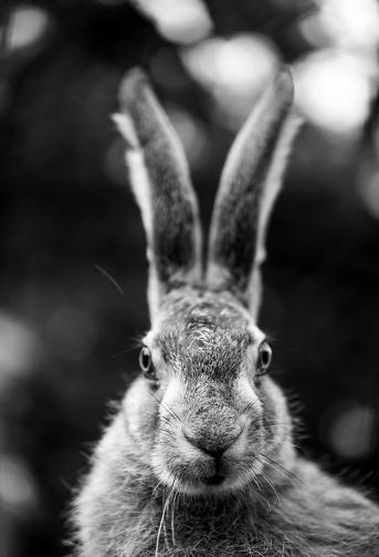 うさぎ「European hare - Liebre europea (Lepus europaeus), also known as the brown hare, Navarra, Spain, Europe」:スマホ壁紙(13)
