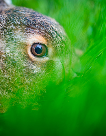 うさぎ「European hare - Liebre europea (Lepus europaeus), also known as the brown hare, Navarra, Spain, Europe」:スマホ壁紙(6)
