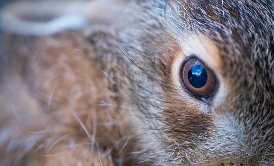 うさぎ「European hare - Liebre europea (Lepus europaeus), also known as the brown hare, Navarra, Spain, Europe」:スマホ壁紙(15)