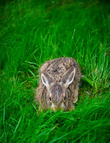 うさぎ「European hare - Liebre europea (Lepus europaeus), also known as the brown hare, Navarra, Spain, Europe」:スマホ壁紙(18)