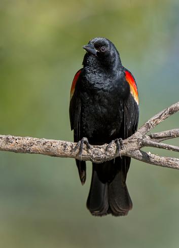 Branch「perched blackbird」:スマホ壁紙(18)
