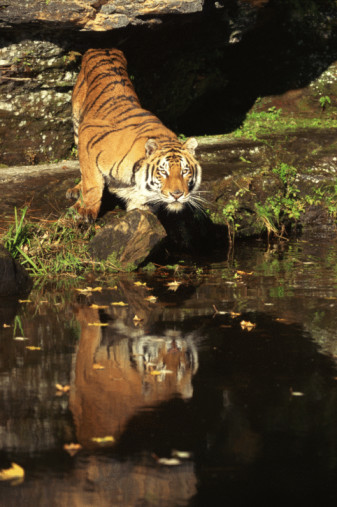 Crouching「Reflection of Bengal tiger in river」:スマホ壁紙(14)