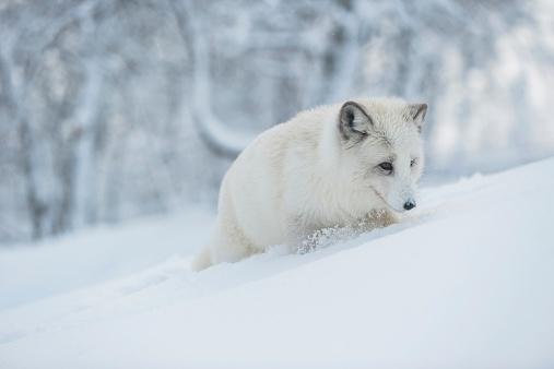 Animals Hunting「Norway, Bardu, polar fox in winter」:スマホ壁紙(18)