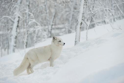 Arctic Fox「Norway, Bardu, polar fox in winter」:スマホ壁紙(16)