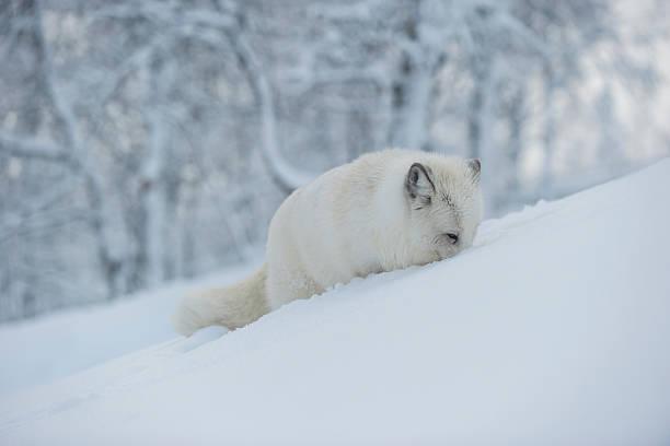 Norway, Bardu, polar fox in winter:スマホ壁紙(壁紙.com)