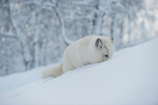Arctic Fox「Norway, Bardu, polar fox in winter」:スマホ壁紙(17)