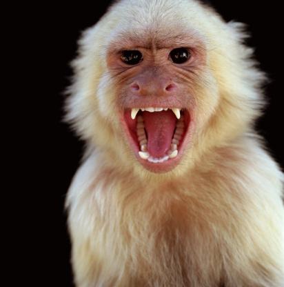 Furious「White-throated capuchin monkey (Cebus capucinus) screaming」:スマホ壁紙(14)