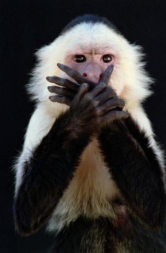 Hand「White-throated capuchin (Cebus capucinus) covering mouth with hands」:スマホ壁紙(5)