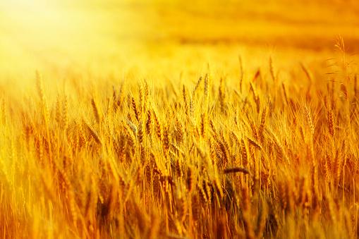Corn - Crop「wheat filed at sunset」:スマホ壁紙(4)