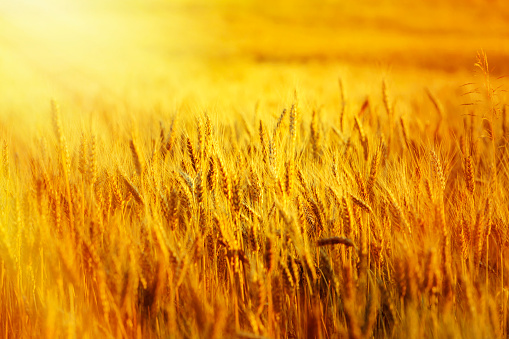 Hay「wheat filed at sunset」:スマホ壁紙(1)
