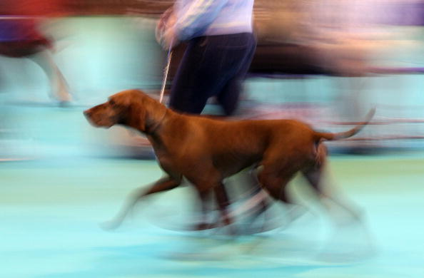 Dan Kitwood「Dogs And Owners Gather For 2010 Crufts Dog Show」:写真・画像(19)[壁紙.com]