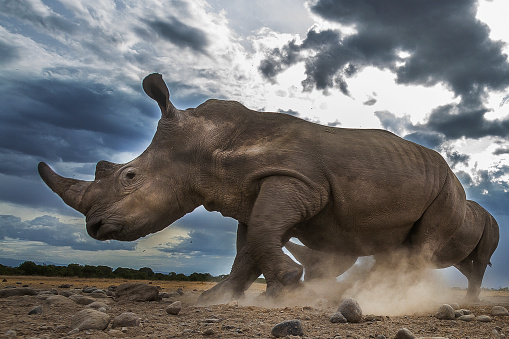 Rhinoceros「Running Rhinoceros in Laikipia」:スマホ壁紙(15)