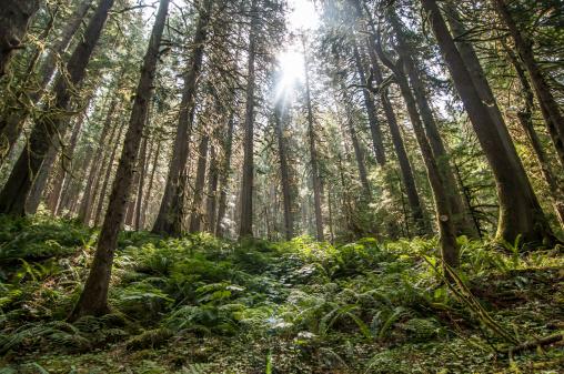 North Cascades National Park「Sun filters through old growth forest in North Cascades National Park, Washington.」:スマホ壁紙(3)