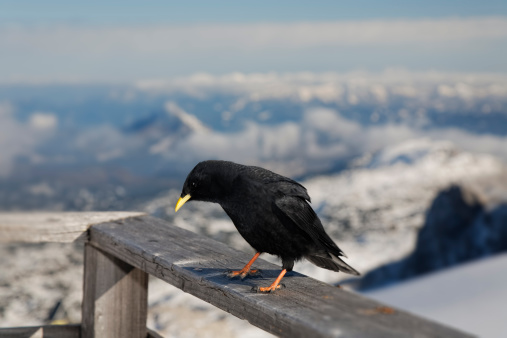 Dachstein Mountains「Austria, Styria, Ramsau am Dachstein, Dachstein Mountains, Alpine chough, Pyrrhocorax graculus」:スマホ壁紙(10)
