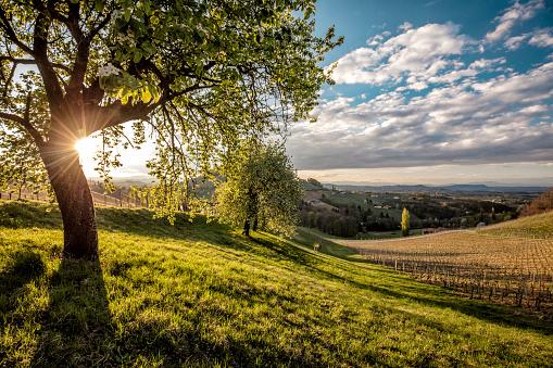 Sunbeam「Austria, Styria, Ratsch an der Weinstrasse, vineyard」:スマホ壁紙(1)