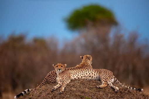 African Cheetah「The scenery of two beautiful cheetahs (Acinonyx jubatus) in resting」:スマホ壁紙(16)