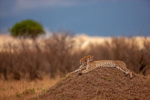 African Cheetah「The scenery of two adult cheetahs (Acinonyx jubatus) resting on a mound at plain」:スマホ壁紙(12)