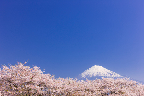 桜「Mt Fuji and Blossoming Cherry Trees」:スマホ壁紙(2)