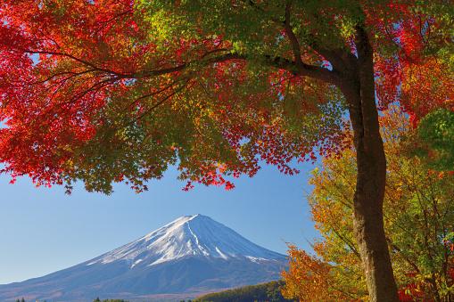 Japanese Maple「Mt Fuji and Autumn Leaf Color: View from Lake Kawaguchi, Japan」:スマホ壁紙(5)