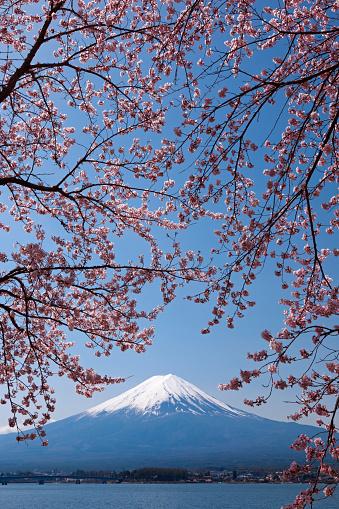 桜「Mt. Fuji and cherry blossoms, Yamanashi Prefecture, Honshu, Japan」:スマホ壁紙(3)
