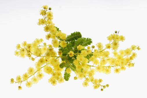 花「Mimosa Flowers」:スマホ壁紙(5)