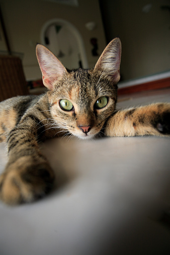 猫「Cat lying on floor, ground view (focus on cat's face)」:スマホ壁紙(12)