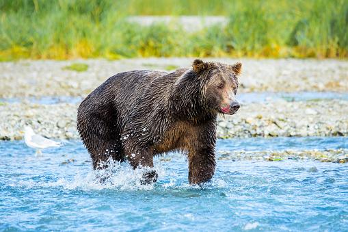 Bear Cub「Bear in Katmai, Alaska」:スマホ壁紙(18)
