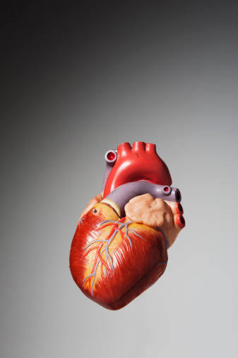 ハート「Anatomical model of human heart」:スマホ壁紙(12)