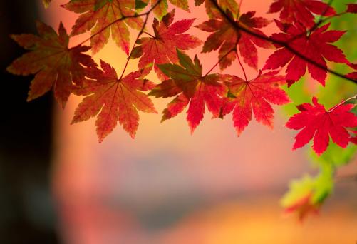 Japanese Maple「Fall Foliage」:スマホ壁紙(16)