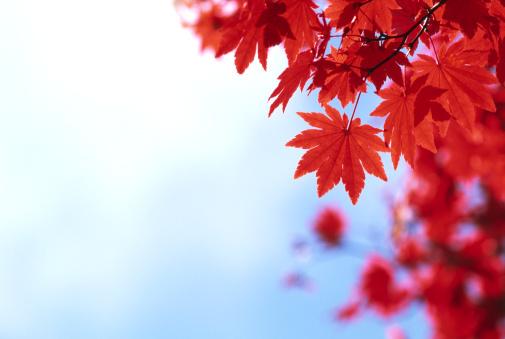 Japanese Maple「Fall Foliage」:スマホ壁紙(18)
