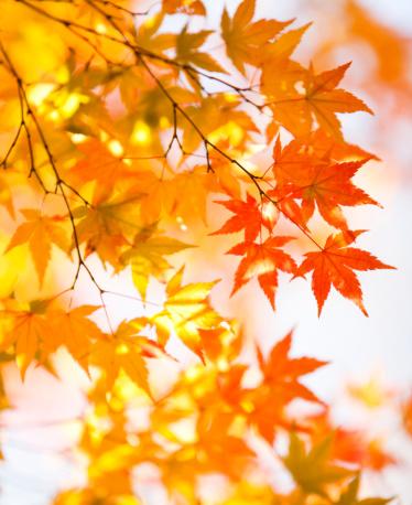 Japanese Maple「Fall Foliage」:スマホ壁紙(8)