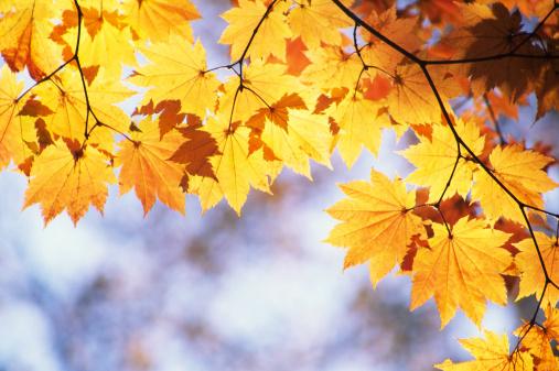Japanese Maple「Fall Foliage」:スマホ壁紙(3)